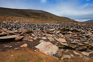 Lichen covered rocks with Rockhopper penguin (Eudyptes chrysocome) and Imperial shag (Phalacrocorax atriceps albiventer) colony beyond Saunders Island, Falkland Islands, November. - Mike Read