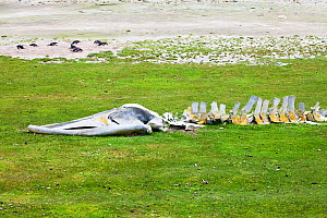 Skeleton of a whale with Gentoo penguin (Pygoscelis papua) colony beyond Saunders Island, Falkland Islands, November 2015  -  Mike Read