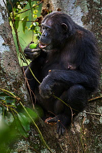 Eastern chimpanzee (Pan troglodytes schweinfurtheii) female 'Dilly' aged 27 years feeding on figs . Gombe National Park, Tanzania.  -  Anup Shah
