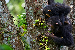 Eastern chimpanzee (Pan troglodytes schweinfurtheii) female 'Golden' aged 15 years with her daughter 'Glamour' aged 21 months feeding on figs . Gombe National Park, Tanzania.  -  Anup Shah