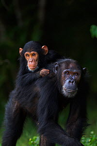 Eastern chimpanzee (Pan troglodytes schweinfurtheii) female 'Gaia' aged 20 years carrying her son 'Google' aged 4 years on her back . Gombe National Park, Tanzania. - Anup Shah