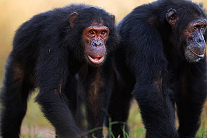 Eastern chimpanzee (Pan troglodytes schweinfurtheii) adolescent male 'Sinbad' aged 12 years walking with his brother 'Sheldon' aged 30 years . Gombe National Park, Tanzania. - Anup Shah