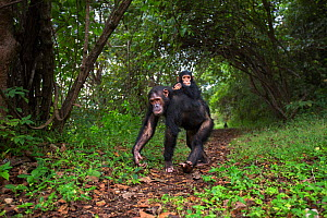 Eastern chimpanzee (Pan troglodytes schweinfurtheii) female 'Golden' aged 15 years carrying her infant daughter 'Glamour' aged 21 months on her back . Gombe National Park, Tanzania.  -  Anup Shah