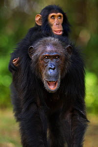 Eastern chimpanzee (Pan troglodytes schweinfurtheii) female 'Gremlin' aged 42 years carrying her son 'Gizmo' aged 3 years and 9 months on her back . Gombe National Park, Tanzania. - Anup Shah