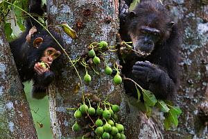 Eastern chimpanzee (Pan troglodytes schweinfurtheii) female 'Gremlin' aged 42 years and her juvenile son 'Gizmo' aged 3 years and 9 months feeding on figs . Gombe National Park, Tanzania. - Anup Shah