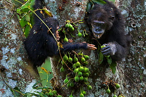 Eastern chimpanzee (Pan troglodytes schweinfurtheii) female 'Gremlin' aged 42 years sharing figs with her juvenile son 'Gizmo' aged 3 years and 9 months . Gombe National Park, Tanzania. - Anup Shah