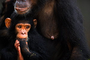 Eastern chimpanzee (Pan troglodytes schweinfurtheii) infant female 'Glamour' aged 21 months sitting with her mother 'Golden' aged 15 years . Gombe National Park, Tanzania. May 2013.  -  Fiona Rogers