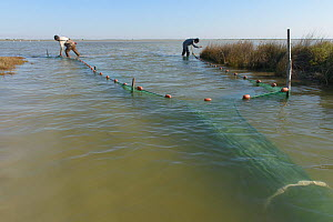 Scientists trapping  European eels  (Anguila  anguilla) in the Camargue, for scientific research by the biological research station of  Tour du Vala.  -  Jean E. Roche