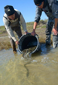 Scientists releasing European eel (Anguilla anguilla) after they were caught during research, La Gacholle, Camargue, France. April.  -  Jean E. Roche