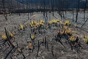 Holm oak (Quercus ilex) saplings growing after fire, Etang de Berre, Provence, France. - Jean E. Roche