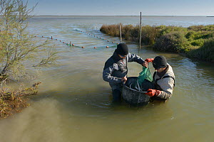 Trapping  European eels  (Anguila  anguilla) in the Camargue, for scientific research by the biological research station of  Tour du Vala.  -  Jean E. Roche
