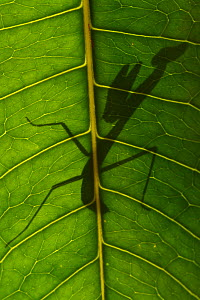 Praying mantis nymph silhouetted through leaf,. Raja Ampat, Western Papua, Indonesian New Guinea - Staffan Widstrand