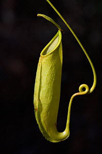 Pitcher plant (Nepenthes), Misool, Raja Ampat, Western Papua, Indonesian New Guinea  -  Staffan Widstrand