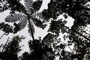 Tree fern (Cyatheales sp)  silhouetted in montane rainforest, near FakFak, Mainland New Guinea, Western Papua, Indonesian New Guinea  -  Staffan Widstrand