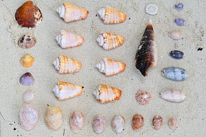 Seashells collected from beach, Triton Bay, Mainland New Guinea, Western Papua, Indonesian New Guinea  -  Staffan Widstrand