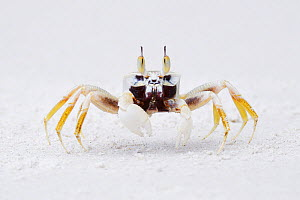"""Horned ghost crab (Ocypode ceratophthalma) Lowland rainforest, Karawawi River, Kumawa Peninsula, mainland New Guinea, Western Papua, Indonesian New Guinea, on the Science et Images """"Expedition Papua,...  -  Staffan Widstrand"""