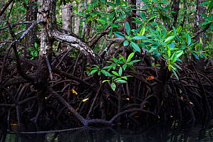 Red Mangrove (Rhizophora mangle) forest in Batenta Island, Raja Ampat, Western Papua, Indonesian New Guinea. - Staffan Widstrand