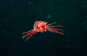 Gregarious lobster krill (Munida gregaria) juvenile. Beagle Channel. Argentina.  -  Michael Pitts