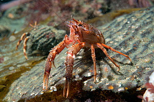 Gregarious lobster krill (Munida gregaria) in defensive position. Beagle Channel. Argentina.  -  Michael Pitts