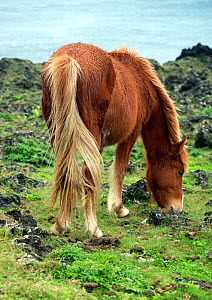 Wild horse on the Island of Yonaguni, Japan. February. - Michael Pitts