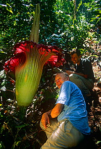 Sir David Attenborough and cameraman Michael Pitts next to Titan arum (Amorophallus titanum) flower,  taken on location for BBC tv series  Private Life of Plants, 1993  -  Michael Pitts