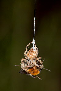 Garden Cross Spider (Araneus diadematus) wrapping its Common Carder Bee (Bombus pascuorum) prey in silk, Bristol, UK, September. Sequence 1/10. - Michael Hutchinson