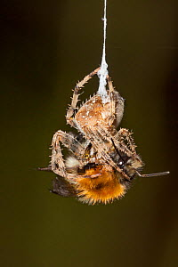 Garden Cross Spider (Araneus diadematus) wrapping its Common Carder Bee (Bombus pascuorum) prey in silk, Bristol, UK, September. Sequence 3/10. - Michael Hutchinson