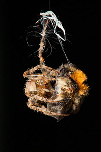 Garden Cross Spider (Araneus diadematus) wrapping its Common Carder Bee (Bombus pascuorum) prey in silk, Bristol, UK, September. Sequence 6/10. - Michael Hutchinson