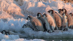 Showreel of Emperor penguin (Aptenodytes forsteri) chicks journeying from colony to the sea, Antarctica. Material by Fred Olivier.  -  NaturePL Showreels