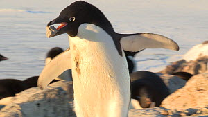 Showreel of Adelie penguins (Pygoscelis adeliae) stealing rocks for their nests, Antarctica. Material by Fred Olivier.  -  NaturePL Showreels
