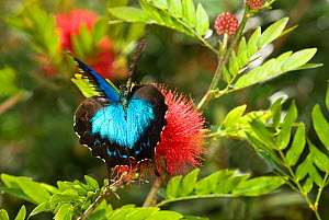 Ulysses butterfly (Papilio ulysses) taking off, Atherton Tableland, North-eastern Queensland, Australia.  -  Jiri Lochman