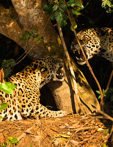 Two Jaguars (Panthera onca) snarling at each other on the riverbank, Pantanal, Brazil. September.  -  Mary McDonald