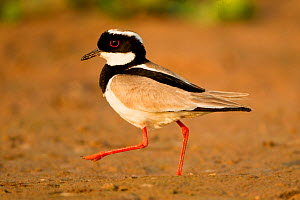 Pied lapwing (Vanellus cayanus) foraging on river bank, Northern Pantanal, Brazil. August.  -  Mary McDonald