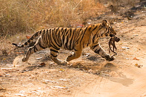 Bengal tiger (Panthera tigris tigris) female cub, aged 8-10 months, carrying dead Rhesus macaque (Macaca mulatta) infant, Bandhavgarh National Park, Madhya Pradesh, India. February.  -  Mary McDonald