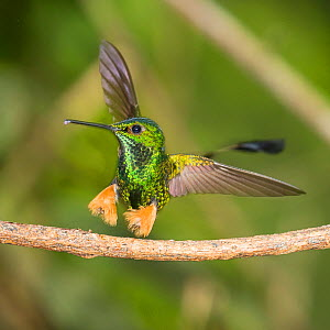 Rufous-booted racquet-tail (Ocreatus underwoodii peruanus) male hummingbird landing, Amazonian foothill forest, Ecuador. April. - Mary McDonald