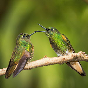 Two Buff-tailed coronet (Boissonneaua flavescens) hummingbirds interacting,  Andean montane forest, Ecuador. April.  -  Mary McDonald