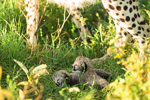 Two Cheetah cubs (Acinonyx jubatus) aged 12-14 days, Ngorongoro Conservation Area, Serengeti, Tanzania  -  Mary McDonald