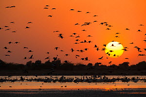 Silhouettes of Demoiselle cranes (Grus virgo) flying at sunset with Rosy pelicans (Pelecanus onocrotalus) in foreground, Little Rann of Kutch National Park, Gujurat, Western India. March. - Mary McDonald