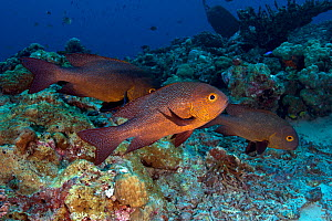 Midnight snappers (Macolor macularis), Kimbe Bay, West New Britain, Papua New Guinea  -  Bert Willaert