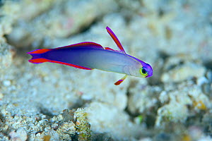 Decorated dartfish (Nemateleotris decora). Bismarck Sea - Vitu Islands, West New Britain, Papua New Guinea  -  Bert Willaert