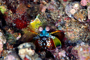 Peacock mantis shrimp (Odontodactylus scyllarus), Kimbe Bay, West New Britain, Papua New Guinea  -  Bert Willaert