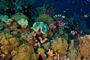 Pair of Lionfish (Pterois volitans) swimming over coral reef. Bismarck Sea, Vitu Islands, West New Britain, Papua New Guinea  -  Bert Willaert