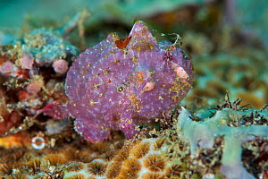 Frogfish (Antennarius sp.), Kimbe Bay, West New Britain, Papua New Guinea - Bert Willaert