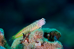 Segmented Blenny (Salarias segmentatus), Kimbe Bay, West New Britain, Papua New Guinea - Bert Willaert