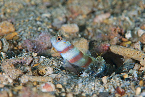 Steinitz' Shrimp goby (Amblyeleotris steinitzi), Kimbe Bay, West New Britain, Papua New Guinea - Bert Willaert