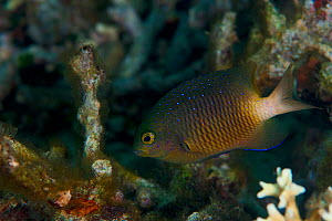 Jewel damselfish (Plectroglyphidodon lacrymatus), Kimbe Bay, West New Britain, Papua New Guinea - Bert Willaert
