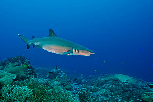 Pregnant Whitetip reef shark (Triaenodon obesus) swimming above reef. Kimbe Bay, West New Britain, Papua New Guinea - Bert Willaert