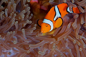 Clown anemonefish (Amphiprion percula) in anemone, Kimbe Bay, West New Britain, Papua New Guinea - Bert Willaert