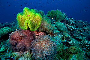 Colorful anemones on coral reef, Kimbe Bay, West New Britain, Papua New Guinea - Bert Willaert