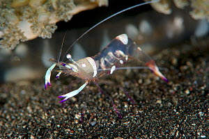 Magnificent shrimp (Ancylomenes magnificus), Kimbe Bay, West New Britain, Papua New Guinea - Bert Willaert